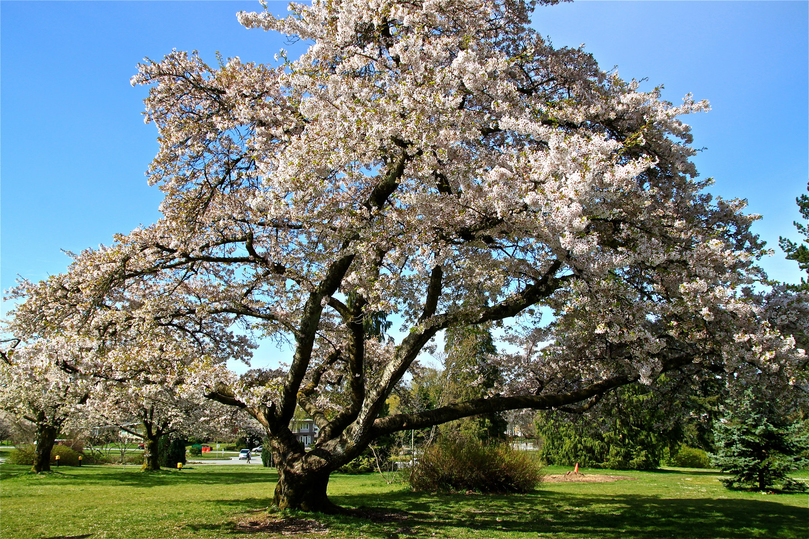 Spring in Vancouver - Cherry Tree