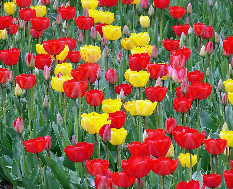 spring of tulips