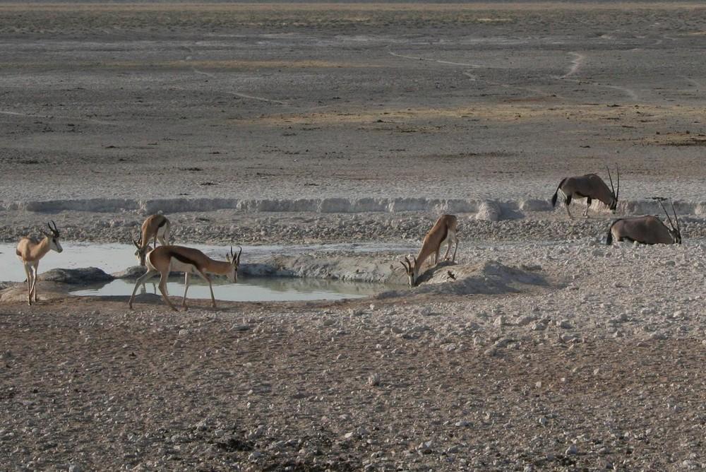 Springbok in ethosa