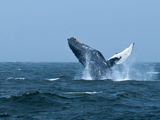 springender buckelwal