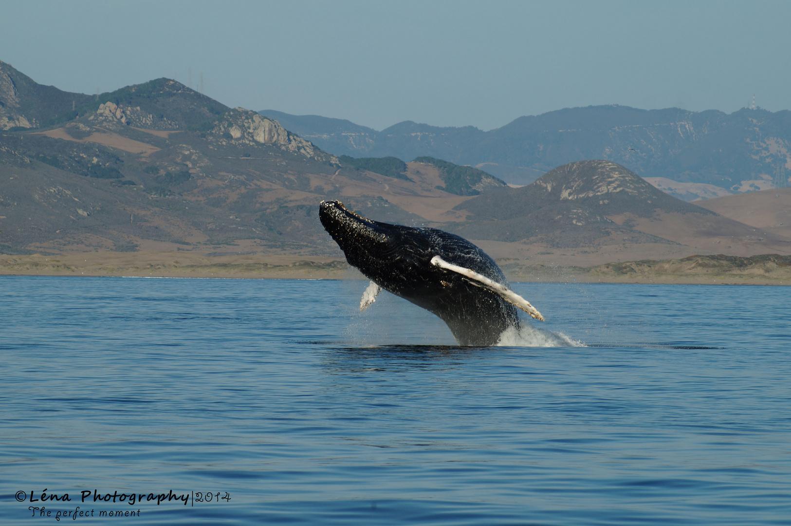 Springender Wal