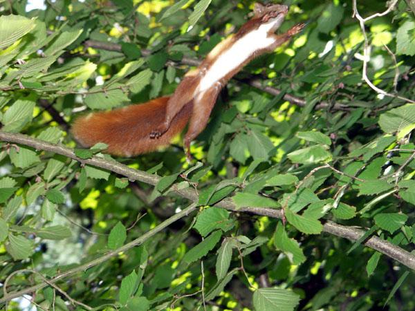 Springendes Hörnchen