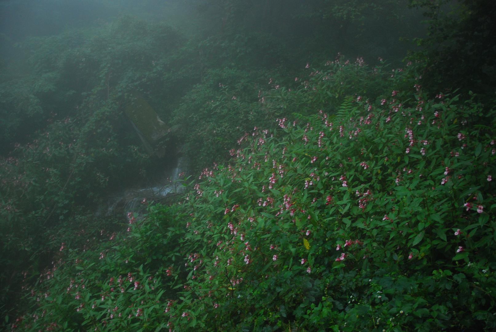 Springkraut im Nebel