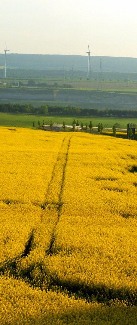 Spur im gelben Rapsfeld