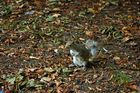 Squirrel at St. James's Park in London