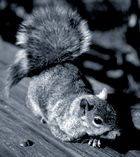 Squirrel (Battery Park, New York)