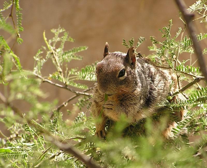 Squirrel beim Mittagstisch