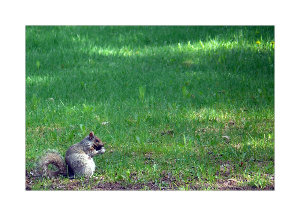 Squirrel / Eichhörnchen