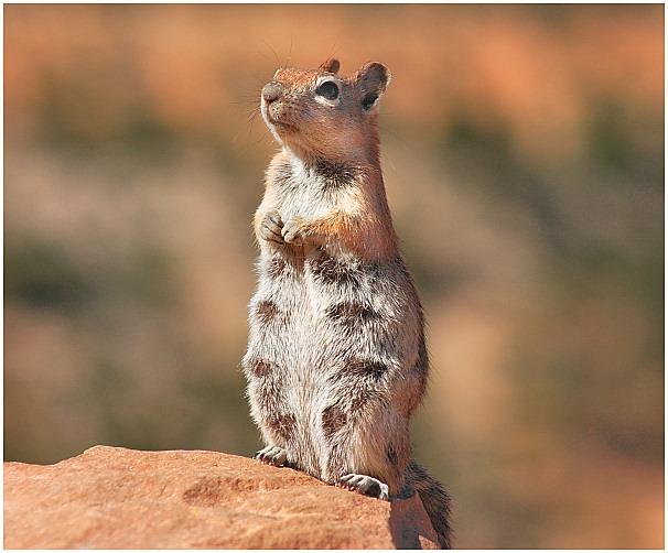 Squirrel im Bryce Canyon