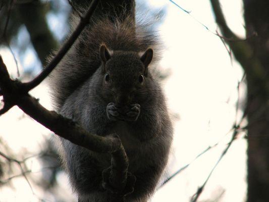 Squirrel im Centralpark Vancouver, BC, Canada