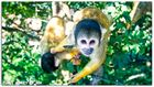 Squirrel monkey - The Funky Monkey