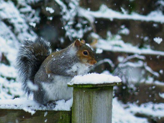 Squirrel on snowy fence