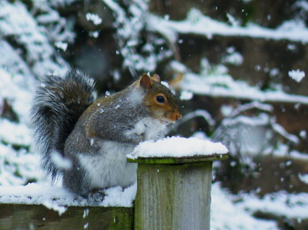 Squirrel on snowy fence by Jim McSweeney