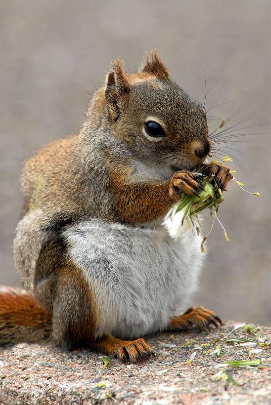 Squirrel wählt die Pusteblumen-Diät...