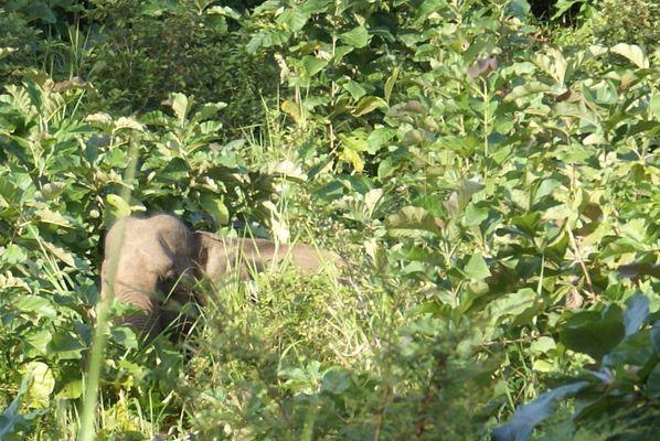 SRI LANKA - Eléphant sauvage