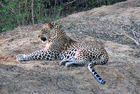 Sri Lanka, Yala- Nationalpark Leopard