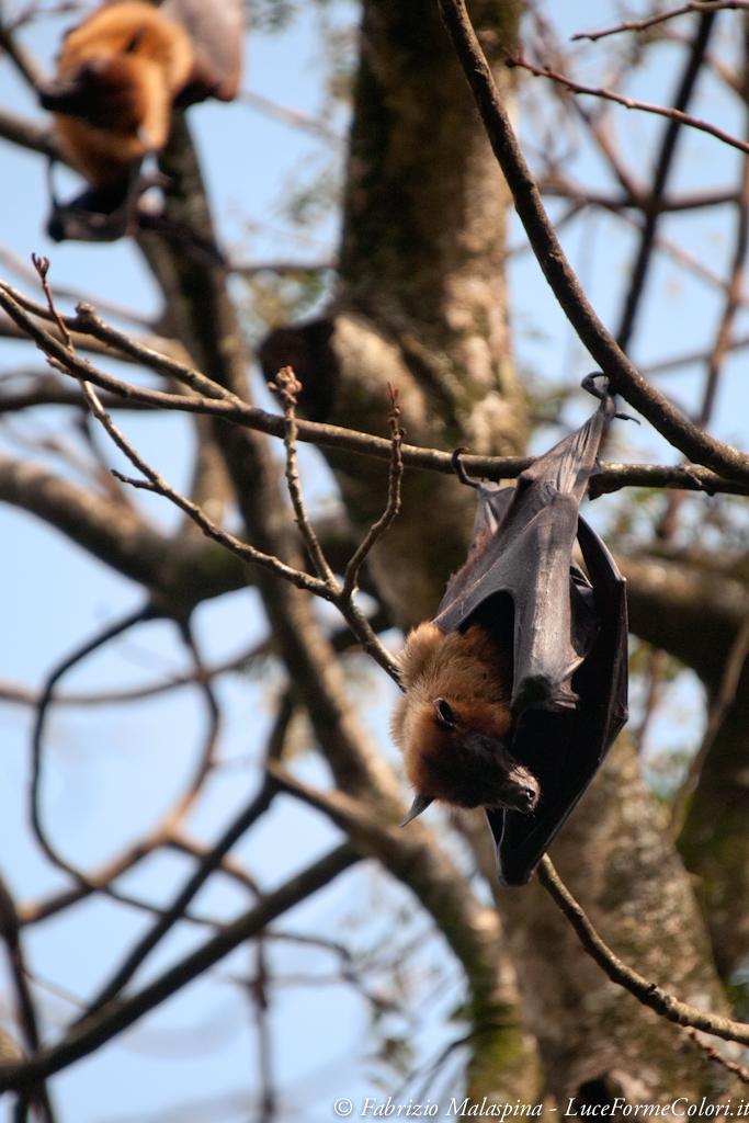 Sri Lankan Bats