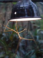 Stabheuschrecke an der schönen warmen Lampe
