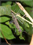 Stabheuschrecke im Amazonas-Dschungel................