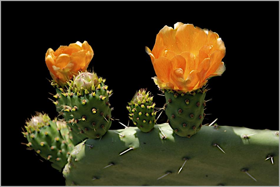 Stachel-Blüten