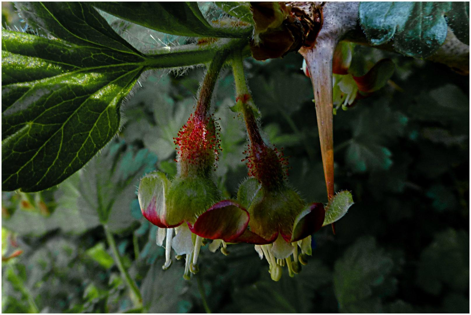 Stachelbeerblüten