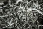 Stacheldrahtpflanze