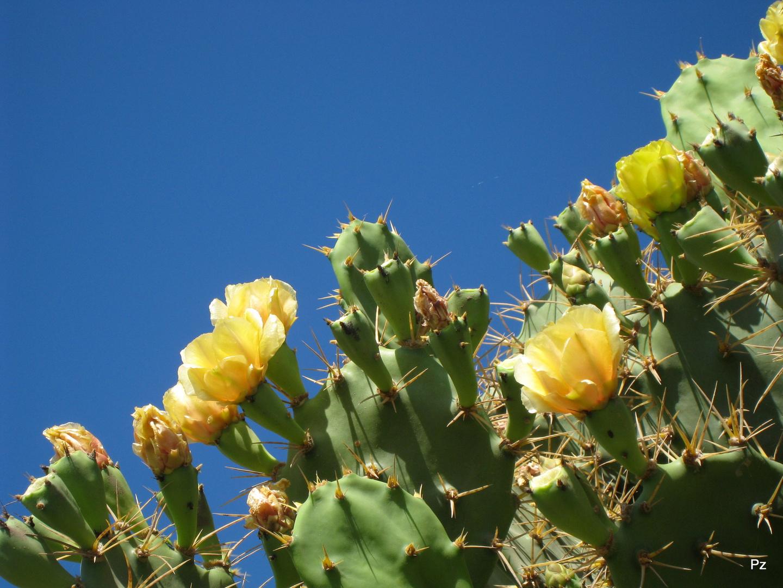 Stachelige Blütenpracht an der Playa del Inglés ...