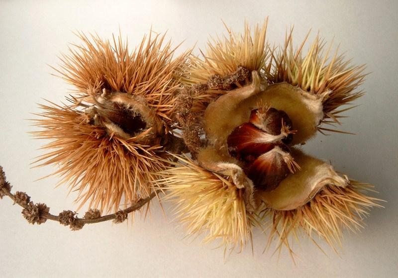 Stachelige Frucht
