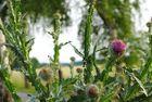 Stachelige Provence