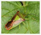 Stachelwanze - Acanthosoma haemorrhoidale