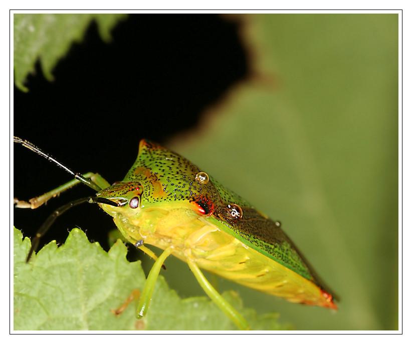 Stachelwanze Acanthosoma haemorrhoidale