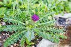 Stängellose Kratzdistel (Cirsium acaule)...