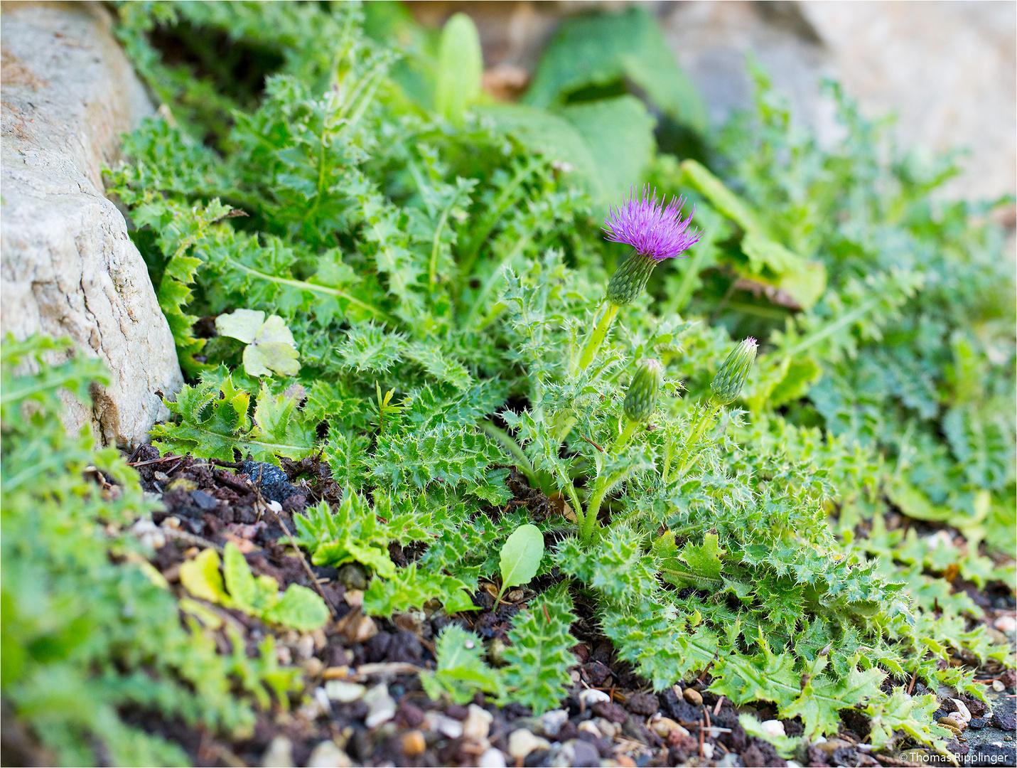 Stängellose Kratzdistel (Cirsium acaule)..