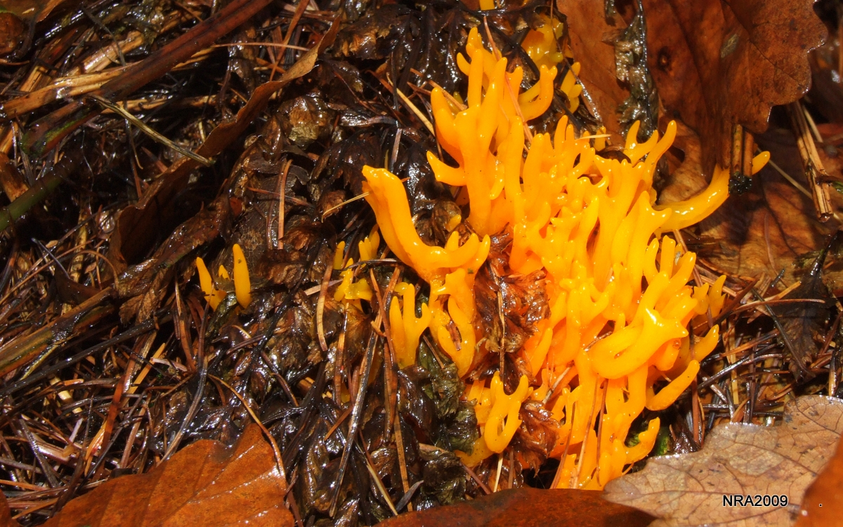 Stagshorn Fungi