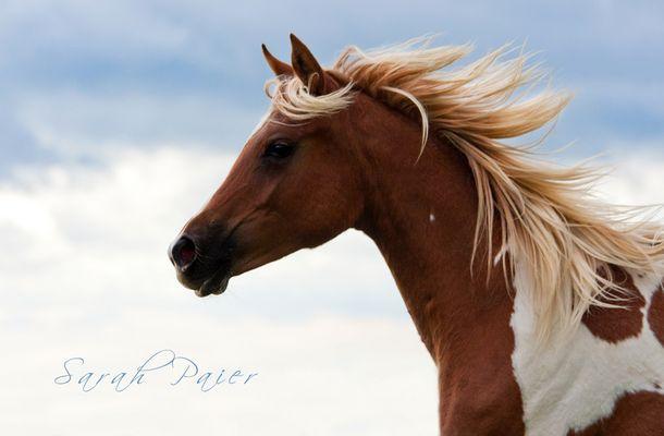 *Stallion*