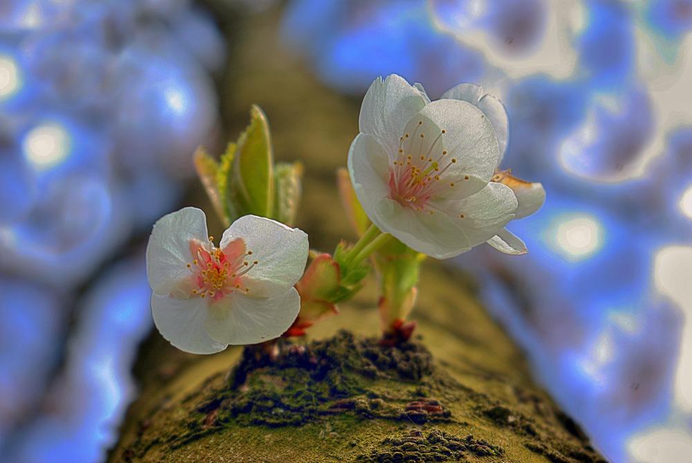 Stammblüten