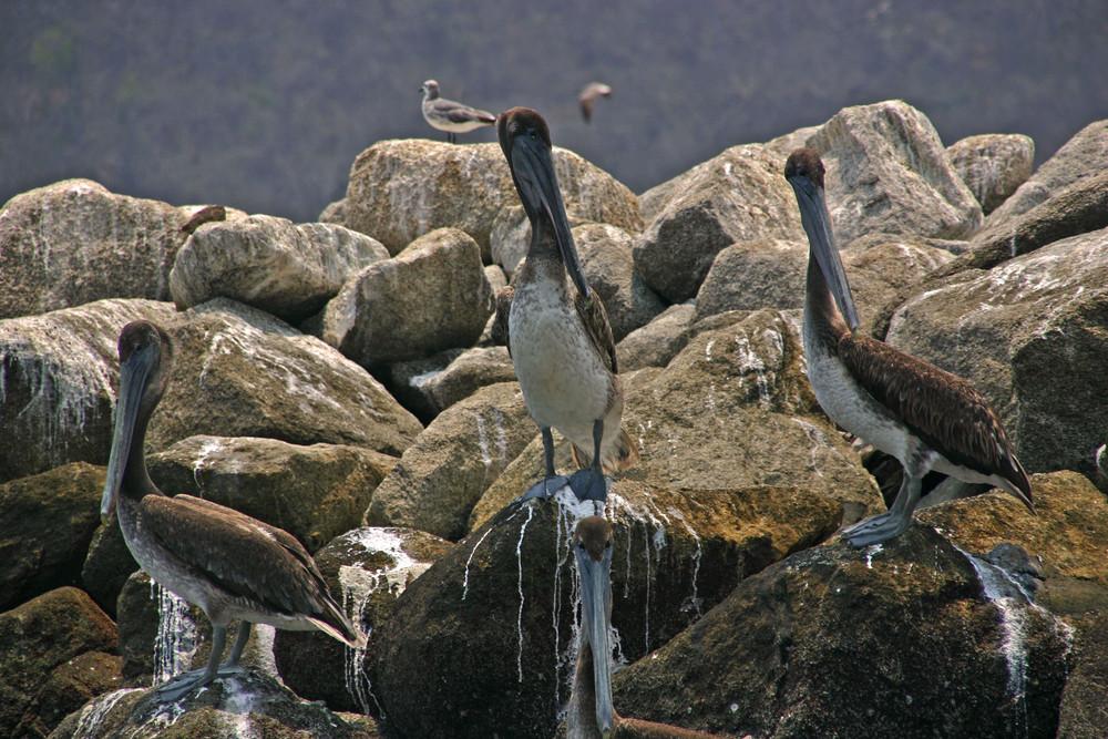 Stammplätze der Pelikane.