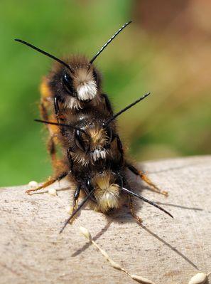 Stapelbienen