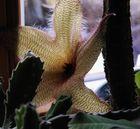 Stapelia gigantea - Aasblume