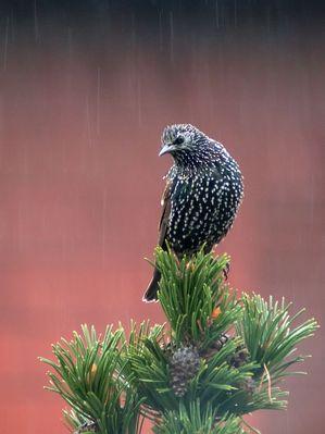 Star im Herbstregen