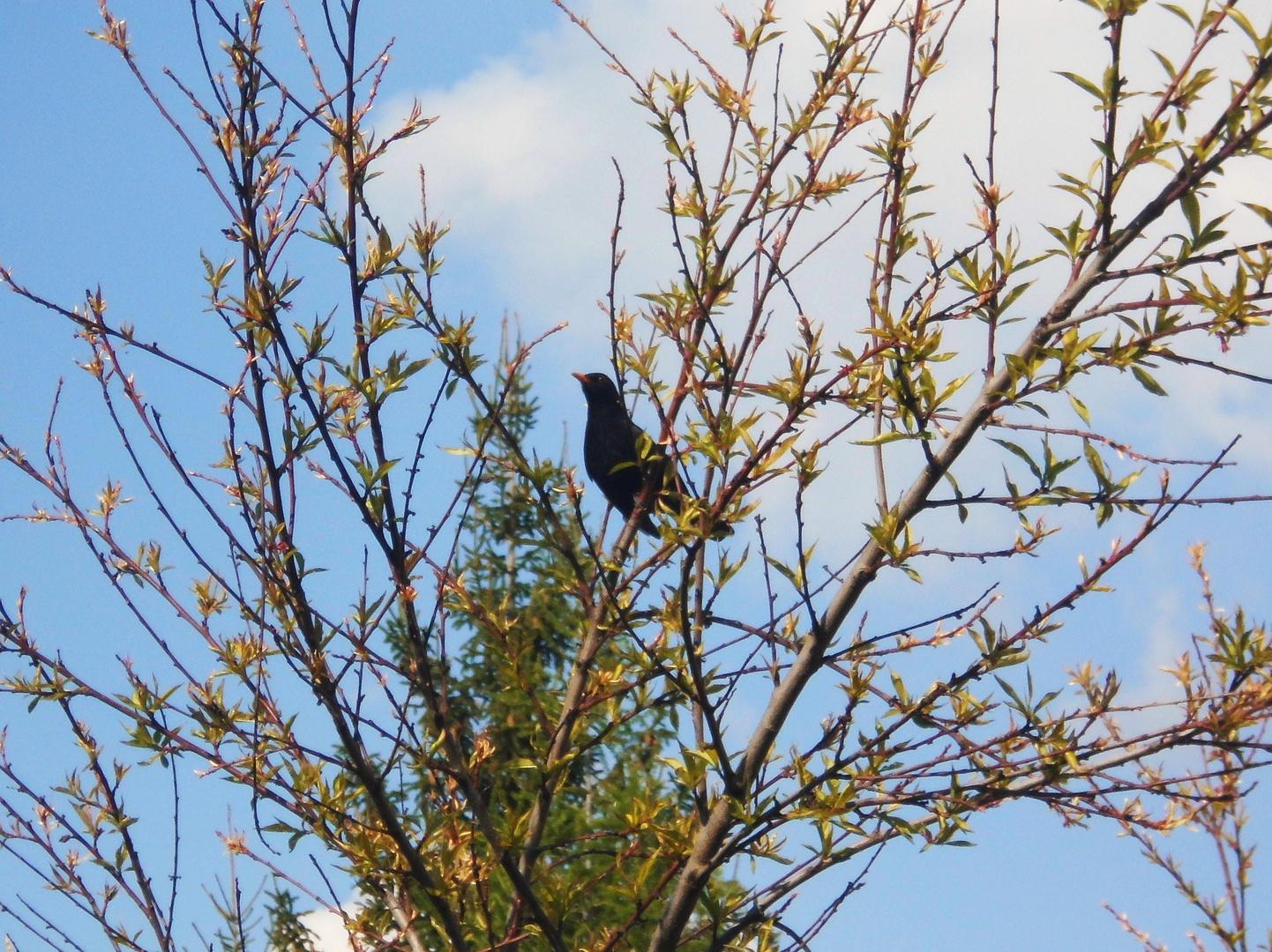Star ..im Pfirsichbaum