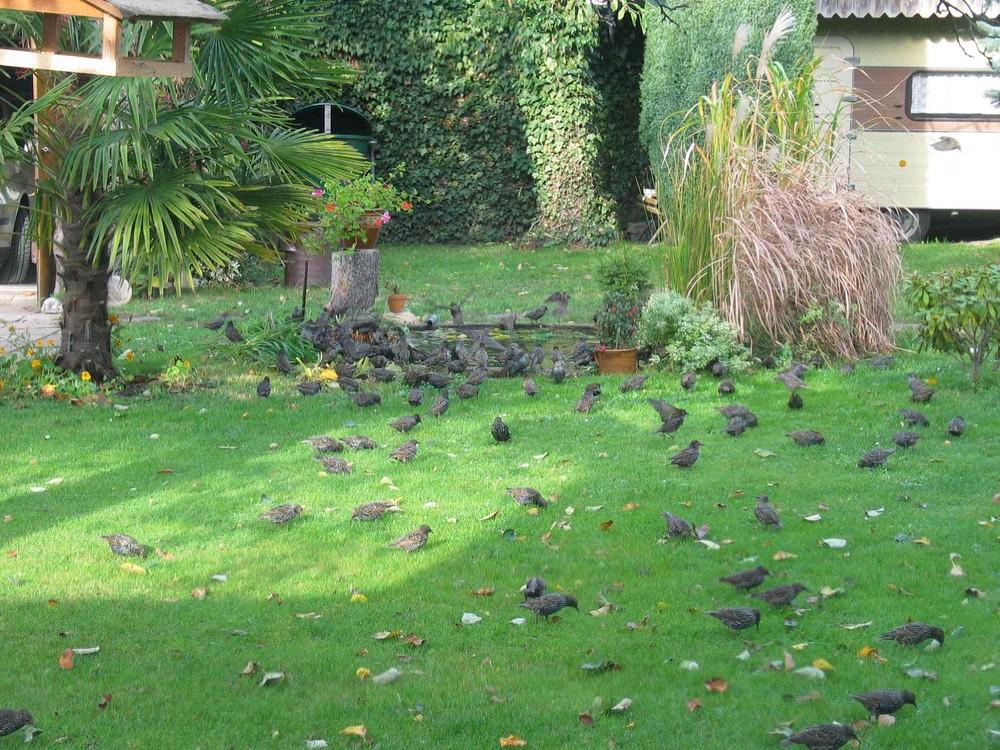 Stareninvasion im Garten