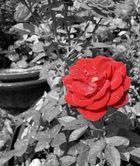 Starke Farbe einer Starken Rose!