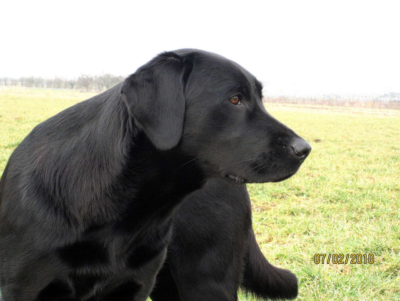 Starrer Blick - Labrador, Hund