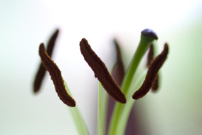 staubblätter einer lilie