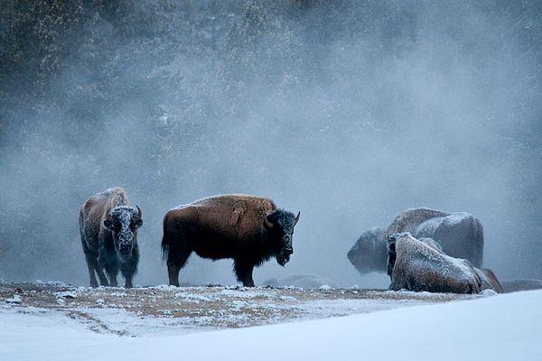 Steam bathing bison