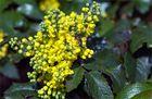 Stechdornblättrige Mahonie - Mahonia aquifolium
