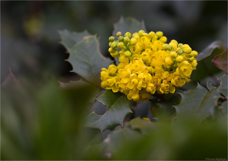 Stechdornblättrige Mahonie (Mahonia aquifolium)