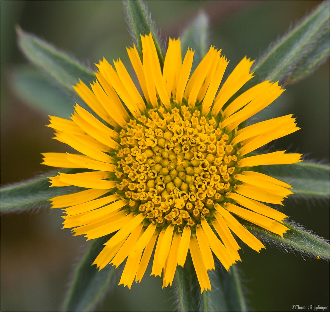 Stechendes Sternauge (Pallensis spinosa)...