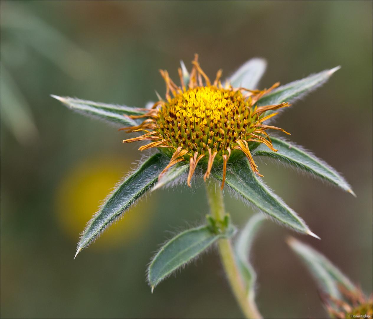Stechendes Sternauge (Pallensis spinosa)....